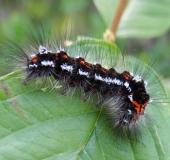 001-Raupe-Schwan-Euproctis-similis-L. Klasing
