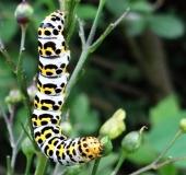 017-Raupe-Braunwurz-Mönch-Shargacucullia-scrophulariae-L.-Klasing-