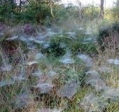 Netze der Baldachinspinne (Linyphia triangularis)