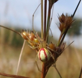 Kugelspinne w. (Enoplognatha lineata)