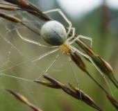 Kugelspinne (Enoplognatha ovata)