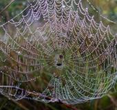 Netz der Körbchenspinne (Agalenatea redii)