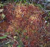 Torfmoos (Sphagnum spec.)-L. Klasing
