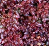 Torfmoos (Sphagnum magellanicum)-L. Klasing