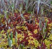 0013-Torfmmoos-Sphagnum-magellanicum-L. Klasing