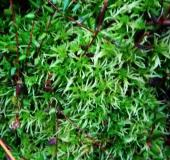 0016-Gefranstes-Torfmoos-Sphagnum-fimbriatum-L. Klasing