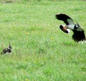 023-Kiebitz-Vanellus-vanellus-L. Klasing