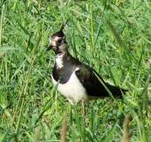 024-Kiebitz-Vanellus-vanellus-L. Klasing