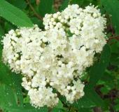 Blüte: Eberesche (Sorbus aucuparia)-L. Klasing