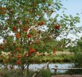 Eberesche (Sorbus aucuparia)-L. Klasing