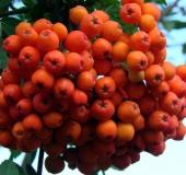Frucht:  Eberesche (Sorbus aucuparia)-L. Klasing