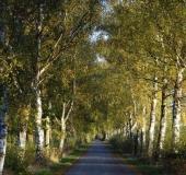 Sommer:  Birke (Betula spec.)-L. Klasing