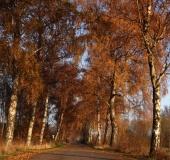 Herbst:  Birke (Betula spec.)-L. Klasing