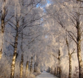 Winter:  Birke (Betula spec.)-L. Klasing