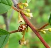 Blüte: Faulbaum (Frangula alnus)-L. Klasing