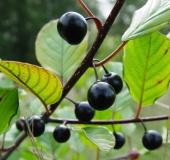 Frucht: Faulbaum (Frangula alnus)-L. Klasing
