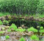 Faulbaum (Frangula alnus)-L. Klasing