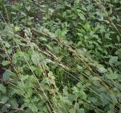 Neuer Aufwuchs:  Faulbaum (Frangula alnus)-L. Klasing