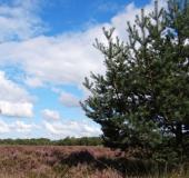 Waldkiefer (Pinus sylvestris)-L. Klasing