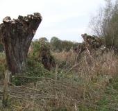 Kopfweide (Salix viminalis)-L. Klasing