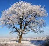 Stiel-Eiche (Quercus robur)-L.-Klasing