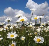 Feuchtwiese: Magerwiesen Margerite