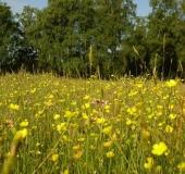 Feuchtwiese: Scharfer Hahnenfuß (Ranunculus acris)