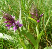 Feuchtwiese Knabenkraut Orchidee (Dactylorhiza majalis)