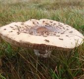 009-Riesenschirmpilz-Macrolepiota-procera-L.-Klasing-