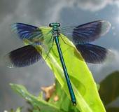 Gebänderte Prachtlibelle (Calopteryx splendens)-L. Klasing