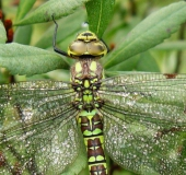 Blaugrüne Mosaikjungfer w. (Aeshna cyanea)-L. Klasing