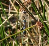 Paarung: Herbst-Mosaikjungfer (Aeshna mixta)-L. Klasing