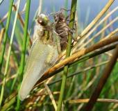 017-Vierfleck-Libelle-Libellula-quadrimaculata-L.-Klasing-