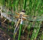 Vierfleck-Libelle (Libellula quadrimaculata)-L. Klasing