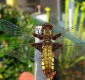 019-Plattbauch-Libelle-w.-Libellula-depressa-L.-Klasing-