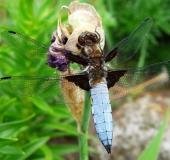 Plattbauch-Libelle w. (Libellula depressa)-L. Klasing