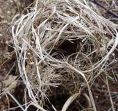 Nest der Zwergmaus (Micromys minutus)-L. Klasing