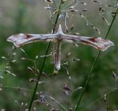 Federgeistchen (Platyptilia pallidactyla)-L. Klasing