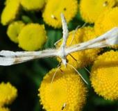 Platyptilia-tetradactyla-L. Klasing