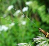 Degeers Langfühler m. (Nemophora degeerella)-L. Klasing