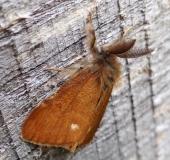 Heide-Bürstenspinner M. (Orgyia antiquoides)-L. Klasing