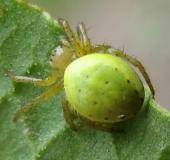 Kürbisspinne (Araniella cucurbitina)
