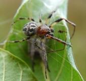 Schilfradspinne m. (Larinioides cornutus)