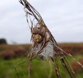 Schilfradspinne w. (Larinioides cornutus)