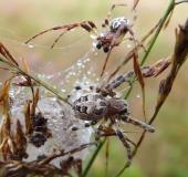 Vor der Paarung: Schilfradspinne m. (Larinioides cornutus) und w.