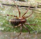 Spinne des Jahres 2011 Labyrintspinne (Agelena labyrinthica)