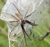 Spinne des Jahres 2002 Listspinne (Pisaura mirabilis)
