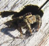 Springspinne (Marpisa muscosa)