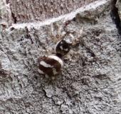 Zebraspringspinne (Salticus scennicus)