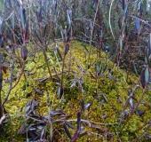 Gefranstes Torfmoos (Sphagnum fimbriatum)-L. Klasing